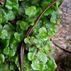Unidentified Moss / Liverwort / Hornwort (TBC) at Acton, ACT - 3 Aug 2021 by tpreston