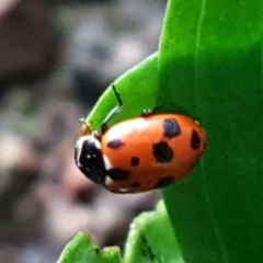 Hippodamia variegata (Spotted Amber Ladybird) at Downer, ACT - 3 Aug 2021 by tpreston
