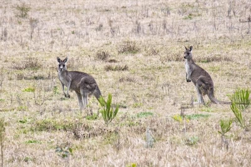 Macropus giganteus at Wingello, NSW - 1 Jul 2021