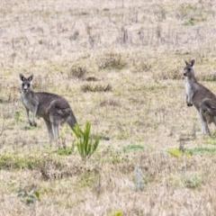Macropus giganteus (Eastern Grey Kangaroo) at Wingello, NSW - 1 Jul 2021 by Aussiegall