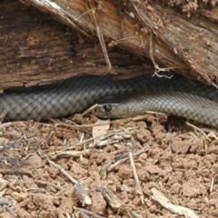 Pseudonaja textilis (Eastern Brown Snake) at Molong, NSW - 14 Feb 2015 by PatrickCampbell