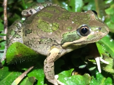 Limnodynastes tasmaniensis (Spotted Grass Frog) at Table Top, NSW - 3 Aug 2021 by DamianMichael