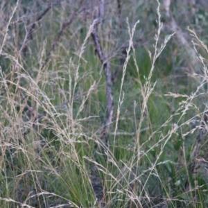 Cyathochaeta diandra (Sheath Rush) at Bundanoon, NSW by Sarah2019