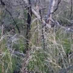 Cyathochaeta diandra at Bundanoon, NSW - 1 Aug 2021