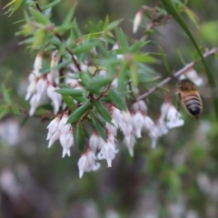 Leucopogon fletcheri subsp. brevisepalus (TBC) at suppressed - 1 Aug 2021 by Sarah2019