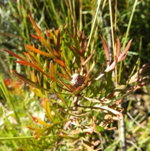 Isopogon anemonifolius at Bundanoon, NSW - 21 Jul 2021