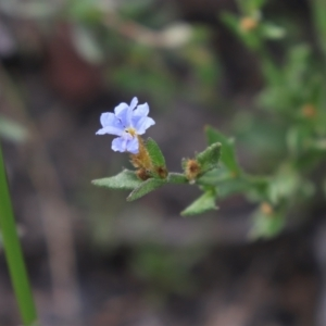 Dampiera stricta (Blue Dampiera) at Bundanoon, NSW by Sarah2019