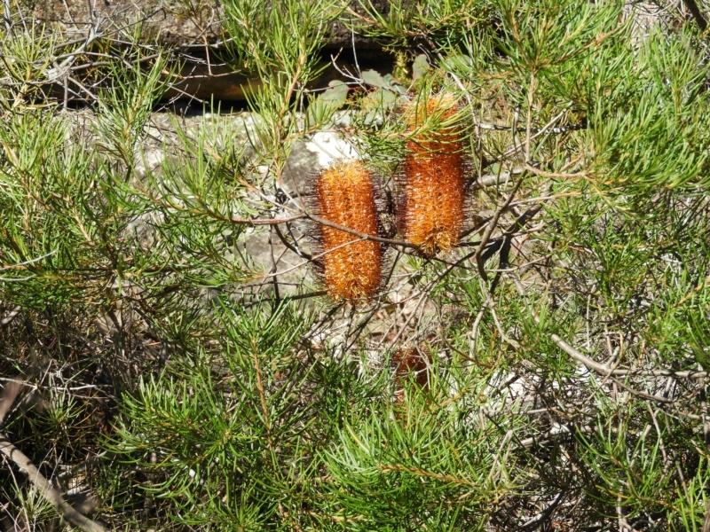 Banksia spinulosa at Bundanoon, NSW - 21 Jul 2021