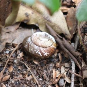 Unidentified Snail or Slug (Gastropoda) (TBC) at suppressed by Sarah2019