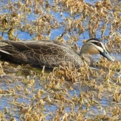 Anas superciliosa (Pacific Black Duck) at Fyshwick, ACT - 31 Jul 2021 by MatthewFrawley