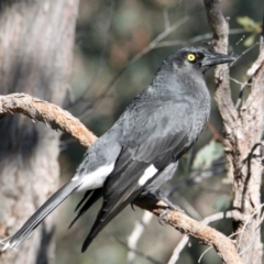 Strepera graculina (TBC) at East Albury, NSW - 2 Aug 2021 by PaulF