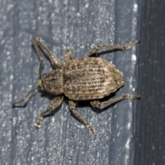 Curculionidae (family) (Unidentified weevil) at Higgins, ACT - 1 Aug 2021 by AlisonMilton