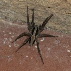 Venatrix pseudospeciosa (Wolf spider) at Higgins, ACT - 3 Aug 2021 by AlisonMilton