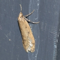 Unidentified Concealer moth (Oecophoridae) (TBC) at Higgins, ACT - 3 Aug 2021 by AlisonMilton