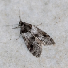 Lepidoscia heliochares (Lepidoscia heliochares) at Higgins, ACT - 3 Aug 2021 by AlisonMilton