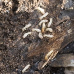 Nasutitermes sp. (genus) (TBC) at Bruce, ACT - 22 Jul 2021 by AlisonMilton