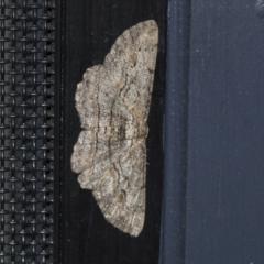 Ectropis excursaria (Common Bark Moth) at Higgins, ACT - 3 Aug 2021 by AlisonMilton