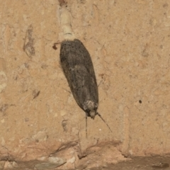 Unidentified Concealer moth (Oecophoridae) (TBC) at Higgins, ACT - 1 Aug 2021 by AlisonMilton