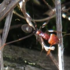 Iridomyrmex purpureus (Meat Ant) at Downer, ACT - 30 Jul 2021 by Christine
