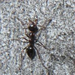 Myrmecorhynchus emeryi (Possum Ant) at Downer, ACT - 30 Jul 2021 by Christine