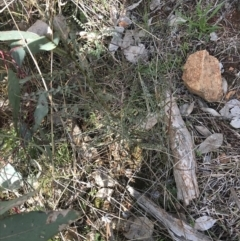 Indigofera adesmiifolia (Tick Indigo) at Deakin, ACT - 31 Jul 2021 by Tapirlord