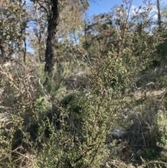 Kunzea parvifolia (Violet kunzea) at Majura, ACT - 2 Aug 2021 by waltraud