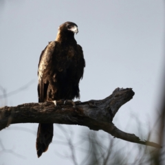 Aquila audax (Wedge-tailed Eagle) at Majura, ACT - 3 Aug 2021 by jbromilow50