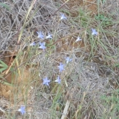 Wahlenbergia sp. (Bluebell) at Dunlop, ACT - 29 Mar 2020 by johnpugh
