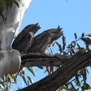 Podargus strigoides (Tawny Frogmouth) at suppressed by HelenCross