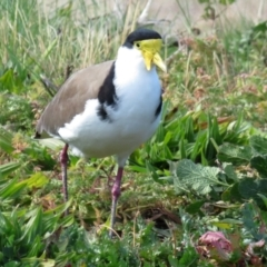 Vanellus miles (Masked Lapwing) at Wanniassa, ACT - 4 Aug 2021 by RodDeb