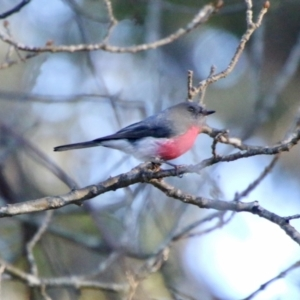 Petroica rosea (TBC) at suppressed by LisaH