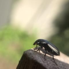 Unidentified Darkling beetle (Tenebrionidae) (TBC) at Belconnen, ACT - 5 Aug 2021 by Dora