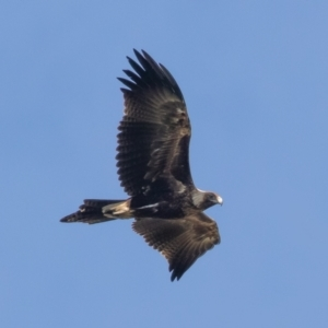 Aquila audax (Wedge-tailed Eagle) at Denman Prospect, ACT by rawshorty