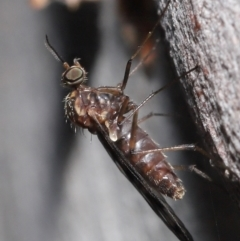 Sylvicola dubius (TBC) at Downer, ACT - 1 Aug 2021 by TimL
