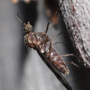 Sylvicola dubius (TBC) at suppressed by TimL