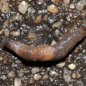 Deroceras laeve (Marsh Slug) at Acton, ACT by TimL