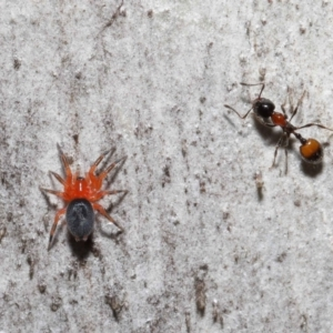 Nicodamidae sp. (family) (Red and Black Spider) at Downer, ACT by TimL