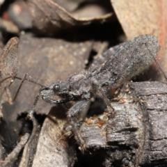 Coranus sp. (genus) (TBC) at Downer, ACT - 30 Jul 2021 by TimL