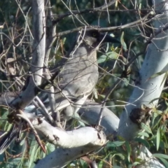 Strepera versicolor (Grey Currawong) at Boro, NSW - 2 Aug 2021 by Paul4K
