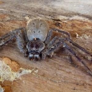 Isopeda sp. (Brown Huntsman) at suppressed by Paul4K