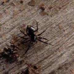 Euryopis splendens (Splendid tick spider) at Boro, NSW - 3 Aug 2021 by Paul4K