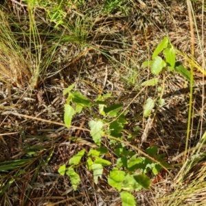 Pavonia hastata (Spearleaf Swampmallow) at Isaacs, ACT by Mike