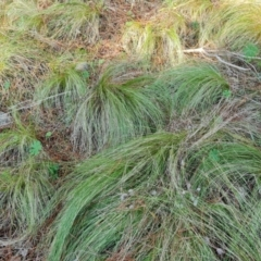 Nassella trichotoma (Serrated Tussock) at Isaacs, ACT - 5 Aug 2021 by Mike