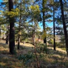 Acacia rubida (Red-leaved Wattle) at Isaacs, ACT - 5 Aug 2021 by Mike