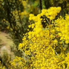 Acacia boormanii (Snowy River Wattle) at Isaacs, ACT - 5 Aug 2021 by Mike