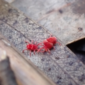 Trombidiidae sp. (family) (Red velvet mite) at Paddys River, ACT by AnneG1