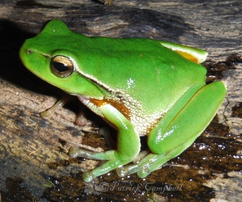 Litoria phyllochroa at suppressed - 19 May 2014