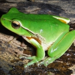 Litoria phyllochroa (Leaf-green Tree Frog) at Blue Mountains National Park, NSW - 19 May 2014 by PatrickCampbell