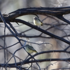 Acanthiza chrysorrhoa (TBC) at Booth, ACT - 5 Aug 2021 by RodDeb