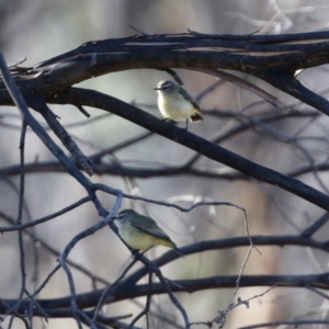 Acanthiza chrysorrhoa (TBC) at suppressed by RodDeb
